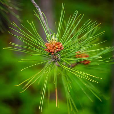 Fir Trees Photograph - Pine Cone by Paul Freidlund