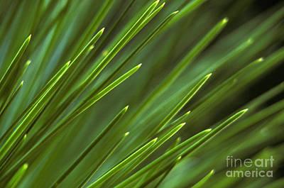 Pine Needles Print by Ron Sanford