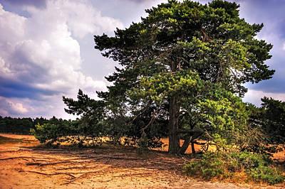 Pine Tree In Hoge Veluwe National Park 1. Netherlands Print by Jenny Rainbow