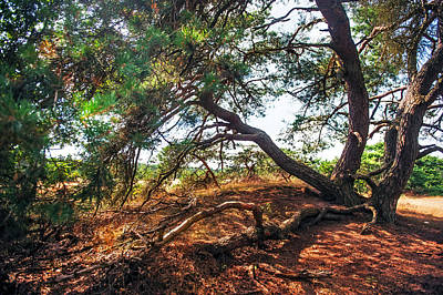 Pine Tree In Hoge Veluwe National Park 2. Netherlands Print by Jenny Rainbow