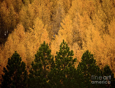 Pine Trees Print by Tim Hester