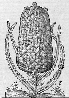 Pineapple, 16th Century Print by Science Photo Library