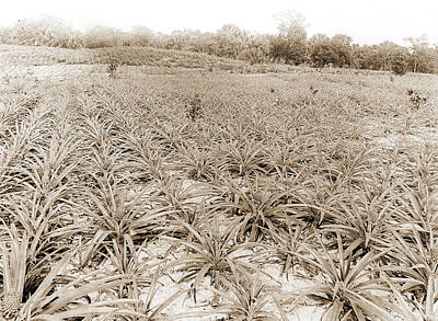 Pineapple Drawing - Pineapple Field At Eden, Jackson, William Henry, 1843-1942 by Litz Collection