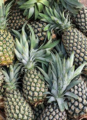 Ananas Photograph - Pineapples (ananas Comosus) by Science Photo Library