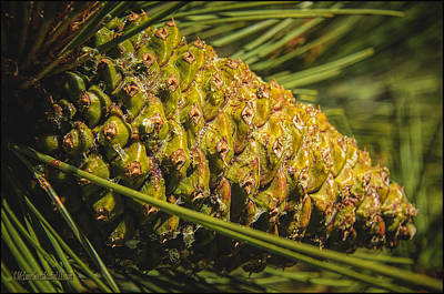Nature Photograph - Pinecone Conifer Cone by LeeAnn McLaneGoetz McLaneGoetzStudioLLCcom