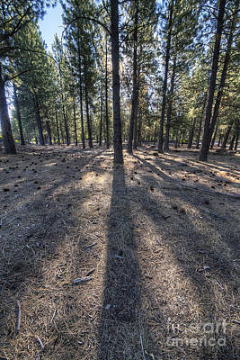Deschutes Photograph - Pines In An Oregon Forest by Twenty Two North Photography