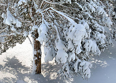 Pines Weighted Down By Snow Print by Janice Drew