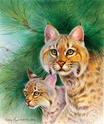 Pinewoods Bobcat Print by Tracy Herrmann