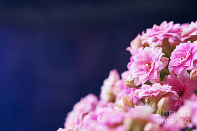 Nature Photograph - Pink And Blue by Pamela Gail Torres