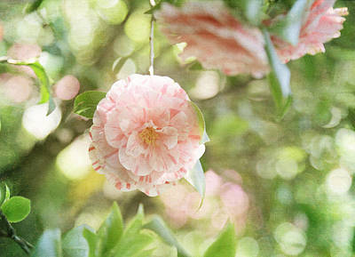 Lake Como Photograph - Pink And White Camillia On Green  by Brooke Ryan