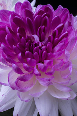 Chrysanthemum Photograph - Pink And White Mum Close Up by Garry Gay
