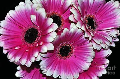 Pink And White Ornamental Gerberas Original by Kaye Menner
