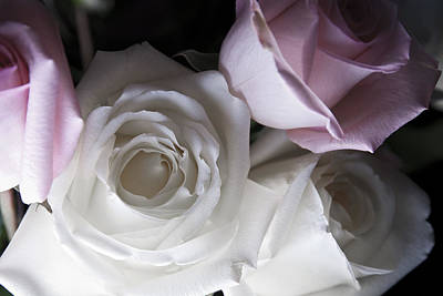 Fleur Photograph - Pink And White Roses by Jennifer Ancker