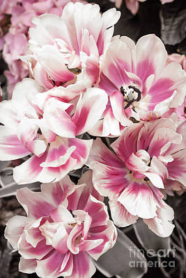 White Flower Photograph - Pink And White Tulips by Elena Elisseeva