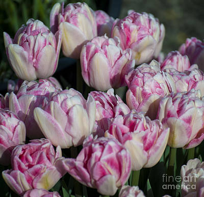 Outdoor Photograph - Pink And White Tulips by Mandy Judson