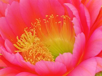 Flower Photograph - Pink And Yellow Cactus Flower by Michelle Cassella
