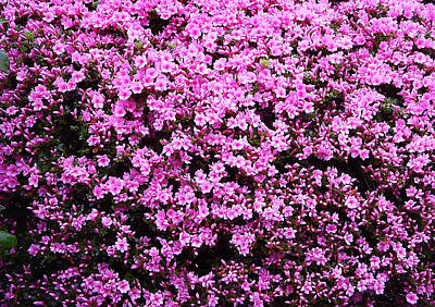 Pink As Pink Can Be Print by Aimee L Maher Photography and Art Visit ALMGallerydotcom