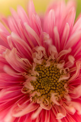 Pink Aster Print by Benita Walker