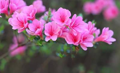 Azalea Photograph - Pink Azalea Limb by Cathy Lindsey