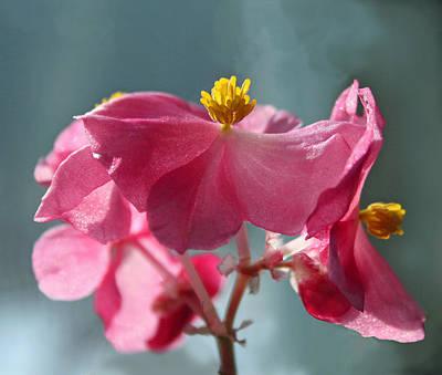 Blue Begonia Photograph - Pink Begonia Flower Portrait by Karen Adams