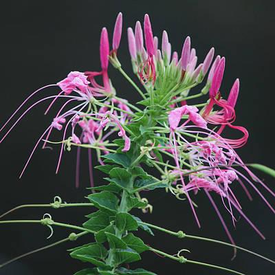 Pink Bloom Squared Original by Suzanne Gaff