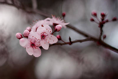 Pink Blossoms Print by Michelle Wrighton