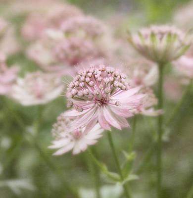 Astrantia Photograph - Pink Blush by Kim Hojnacki