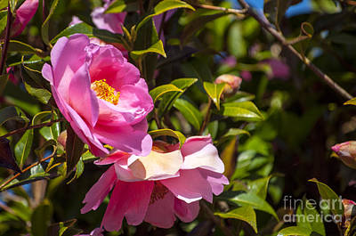Plant Photograph - Pink Camellia Blossoms by Mandy Judson