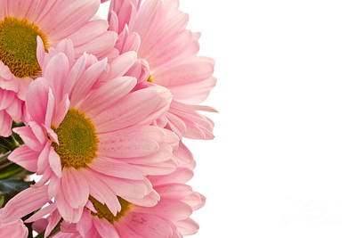Pink Chrysanthemums Print by Boon Mee