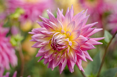 Flower Photograph - Pink Dahlia Flower by Carolyn Eaton
