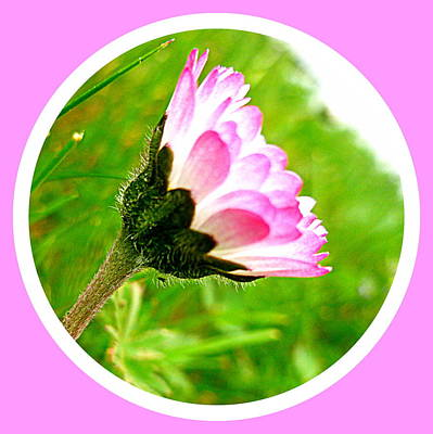 Pink Daisy  Print by The Creative Minds Art and Photography