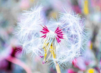 Dandelion Photograph - Magic In Pink by Parker Cunningham
