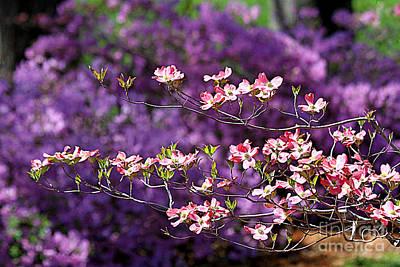 Pink Dogwood With Purple Azaleas Original by Catherine Sherman