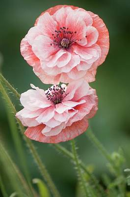 Pink Double Shirley Poppies Print by Maria Mosolova