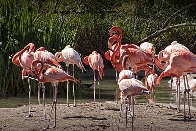 Pink Flamingo Nature Photograph - Pink Falmingos At The San Diego Zoo by Randall Nyhof