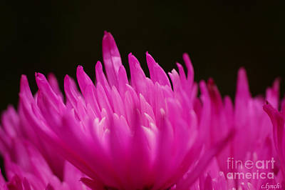 Floral Photograph - Pink Fire 1 by Carol Lynch