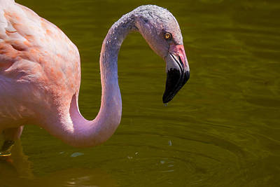 Pink Flamingo Nature Photograph - Pink Flamingo by Garry Gay