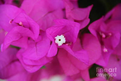 Ipad Design Photograph - Pink Flower Of Malaga by Mahsa Watercolor Artist