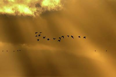 Gathering Photograph - Pink Footed Geese by Simon Booth