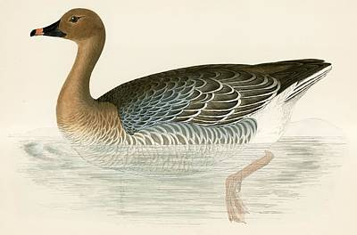 Geese Drawing - Pink Footed Goose by Beverley R Morris