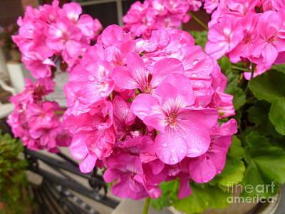 Pink Geranium After The Rain Print by Lingfai Leung