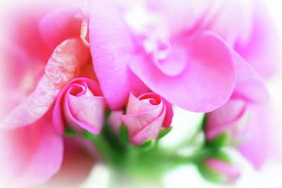 Pink Geranium Print by Lisa Knechtel