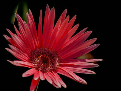 Designer Photograph - Pink Gerber Daisy by Renee Barnes