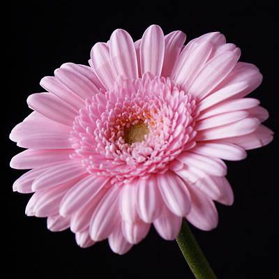 Pink Gerbera Daisy Flower On Black Print by Lynne Dymond