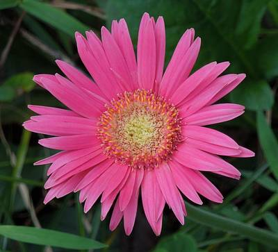 Galleries On Line Photograph - Pink Gerbera by Ron Davidson