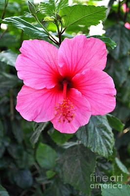 Redish Photograph - Pink Hibiscus With Red Throat by Jay Milo