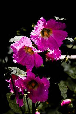 Plants Photograph - Pink Hollyhocks by David Patterson