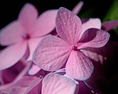 Pink Hydrangea Print by Rona Black