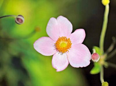 Thimbleweed Photograph - Pink Japanese Anemone by Katherine White