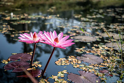 Buddhism Photograph - Pink Lilies In Pond by Mindah-Lee Kumar